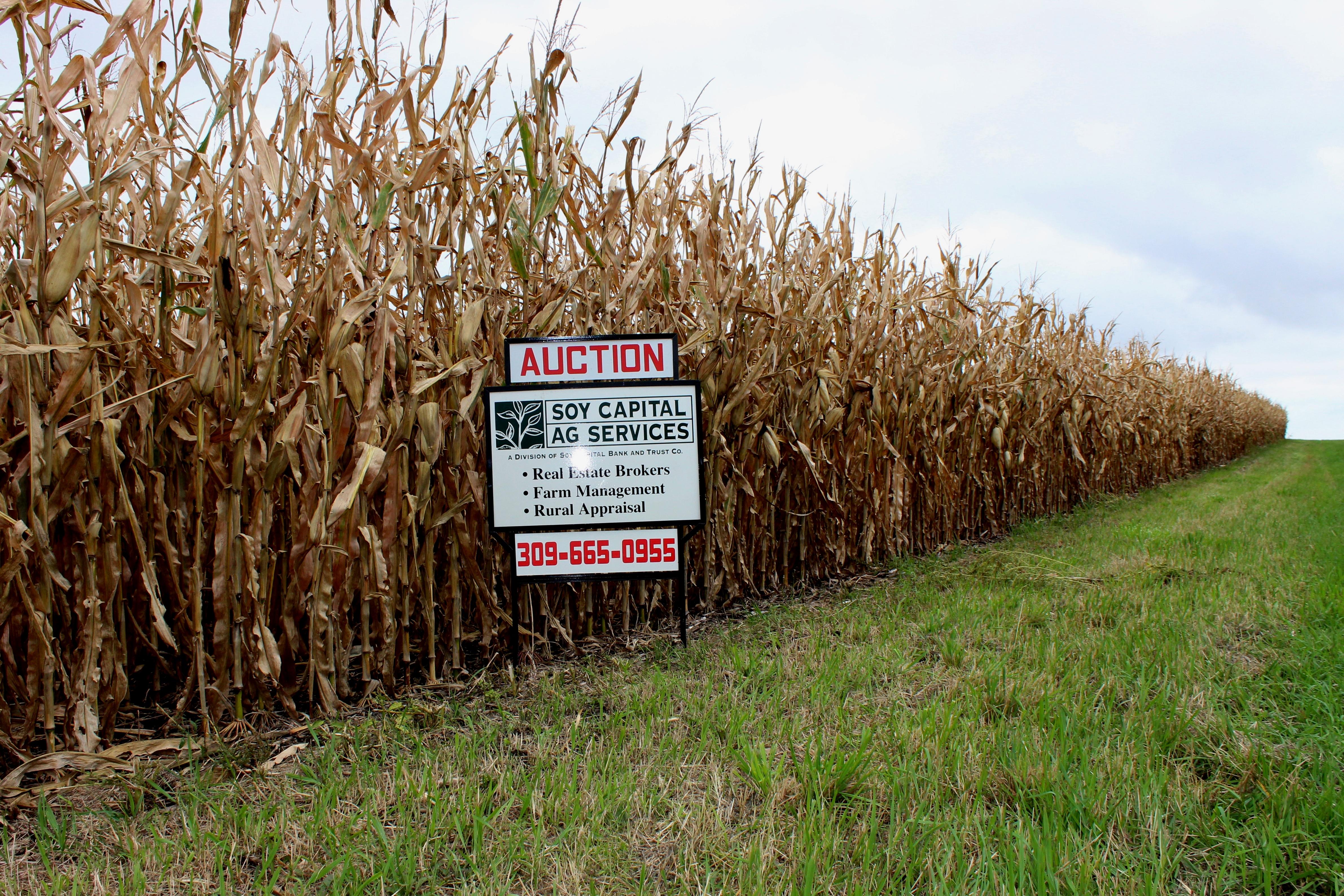Looking down corn row