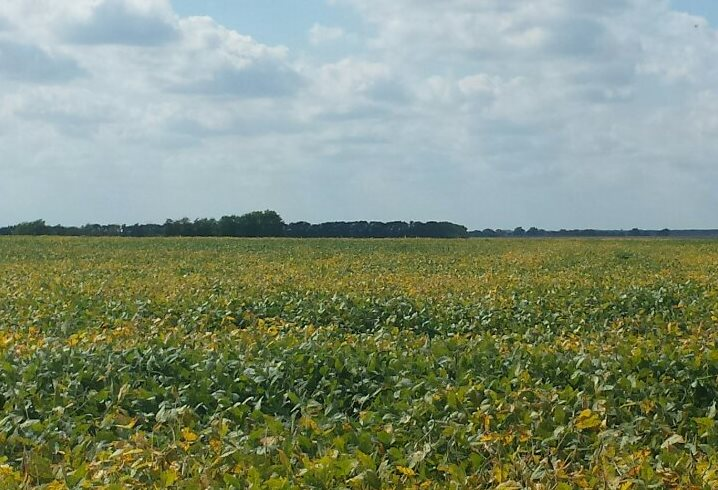 Picture Soybean Field Look West