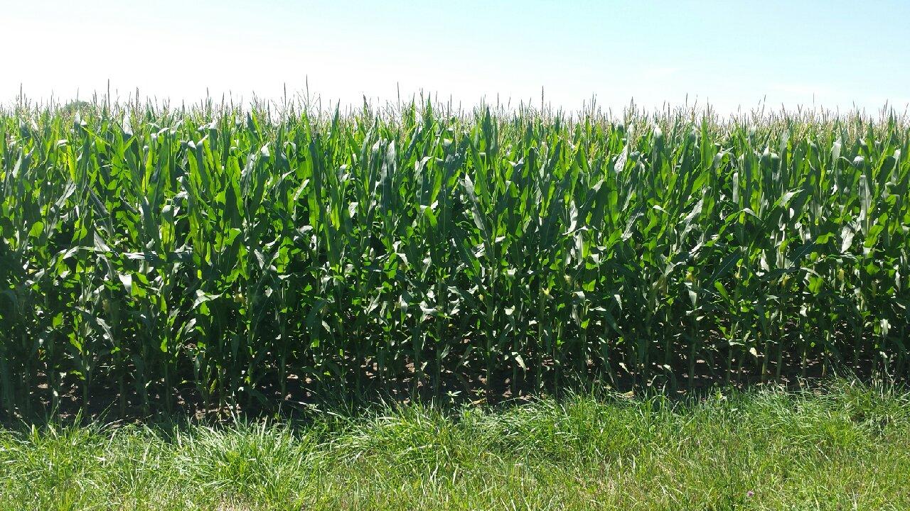 Picture of Haarbye corn (1)