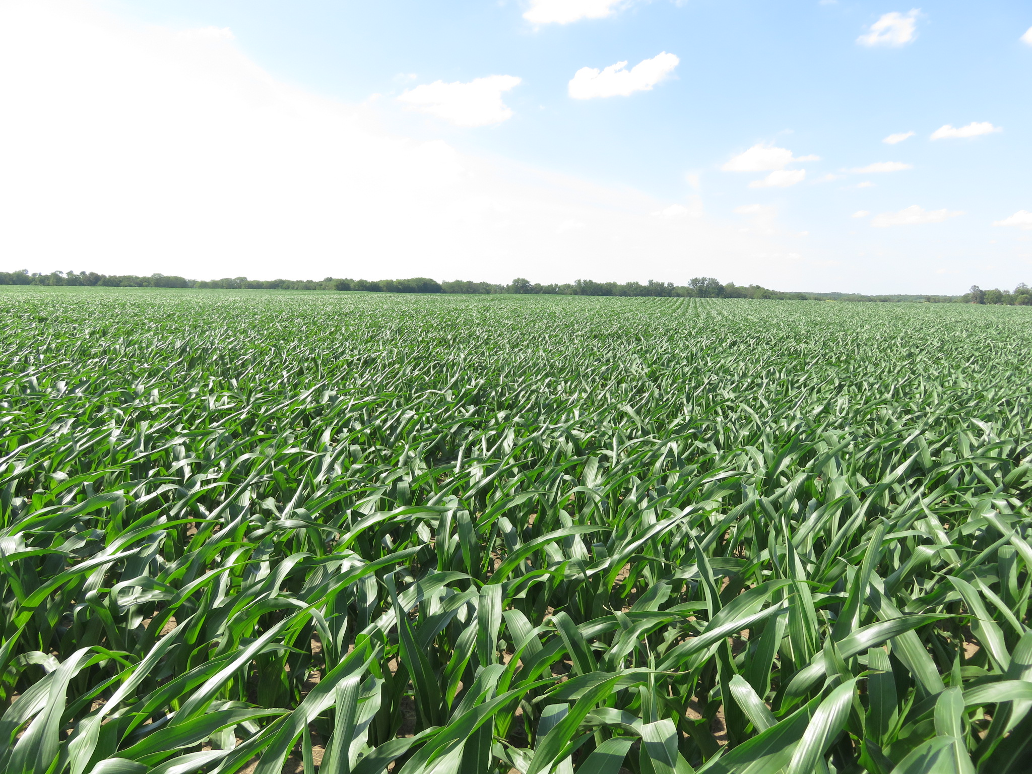 Picture of Smith Corn