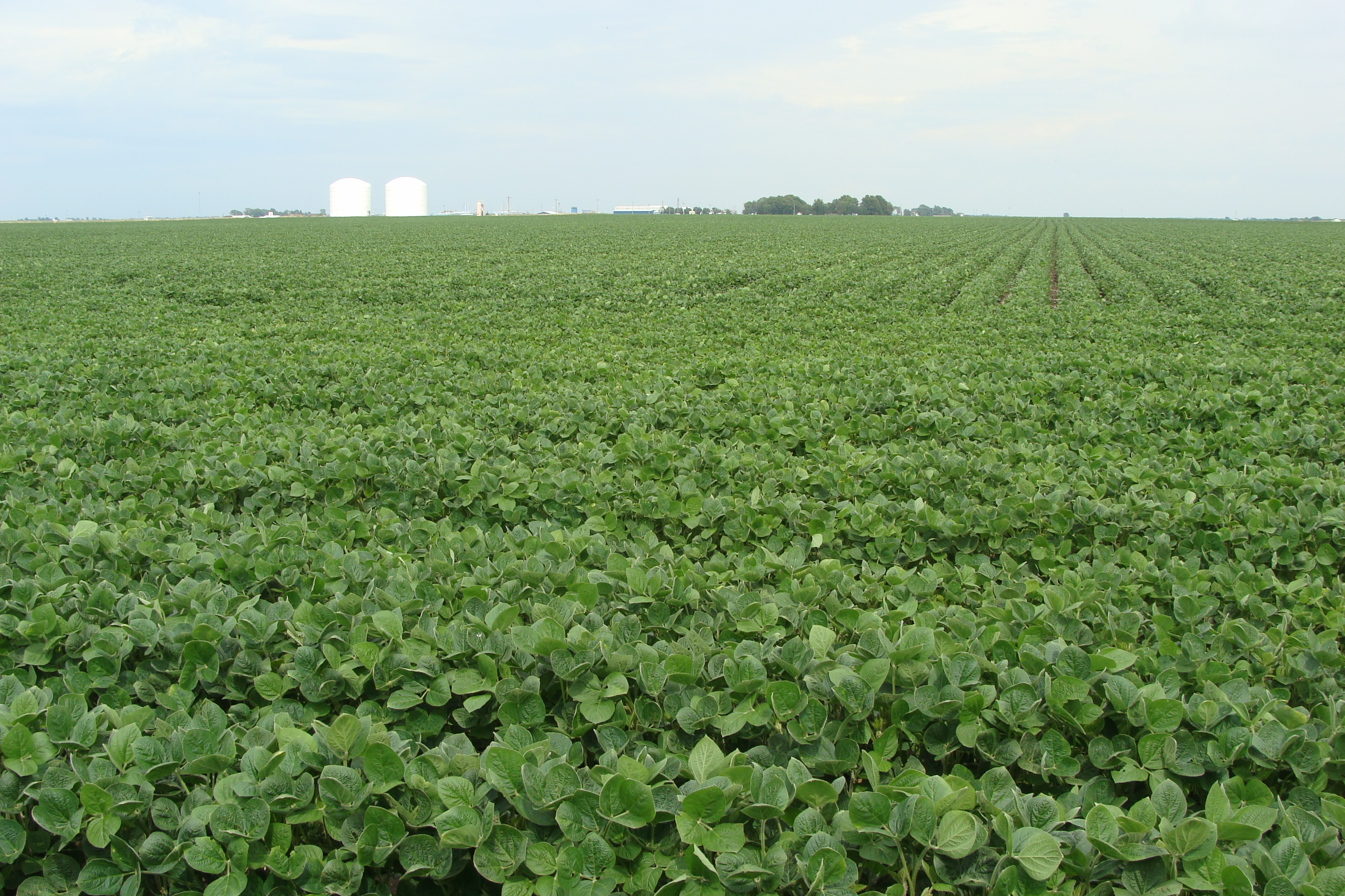 Webster Picture of Soybean Field