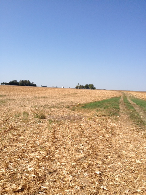 Picture of corn stalks on Wallbaum farm