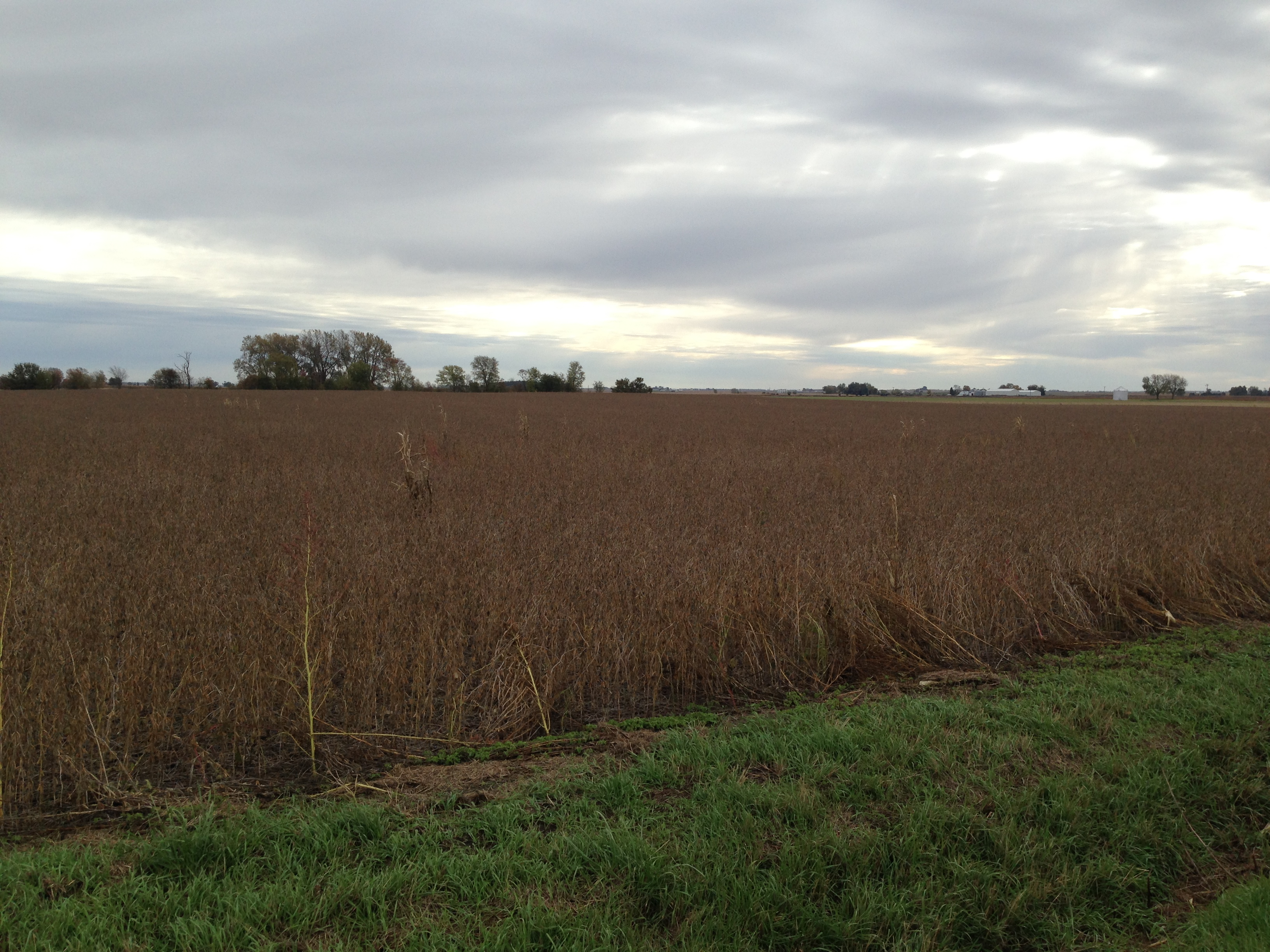 Beans to be harvested