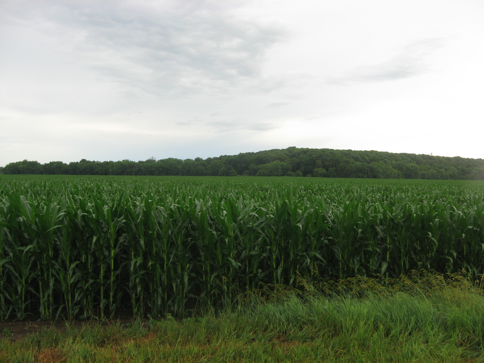 picture of corn barrett farm