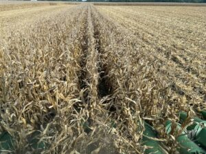 Picture of corn harvest