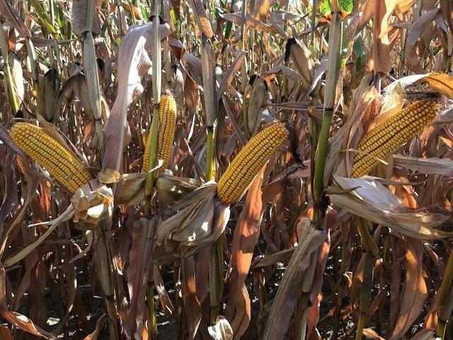 corn ears 9.16.21